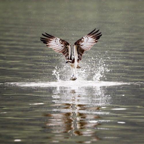 Fischadler 9035